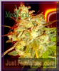 Medicann Mazari Grape Female 5 Marijuana Seeds